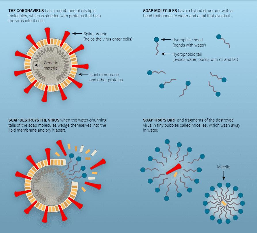 Esquema de cómo el jabón mata a los virus